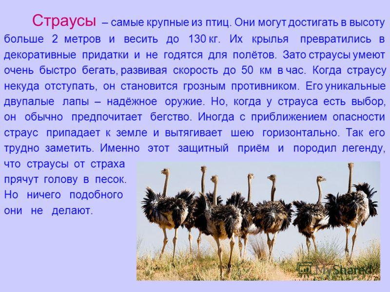 Страусы – самые крупные из птиц. Они могут достигать в высоту больше 2 метров и весить до 130 кг. Их крылья превратились в декоративные придатки и не годятся для полётов. Зато страусы умеют очень быстро бегать, развивая скорость до 50 км в час. Когда