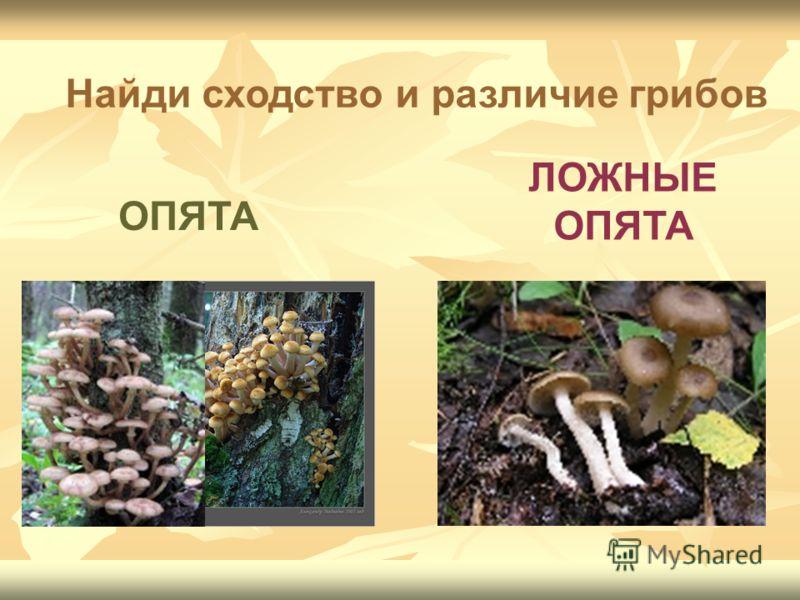 ЛОЖНЫЕ ОПЯТА Найди сходство и различие грибов