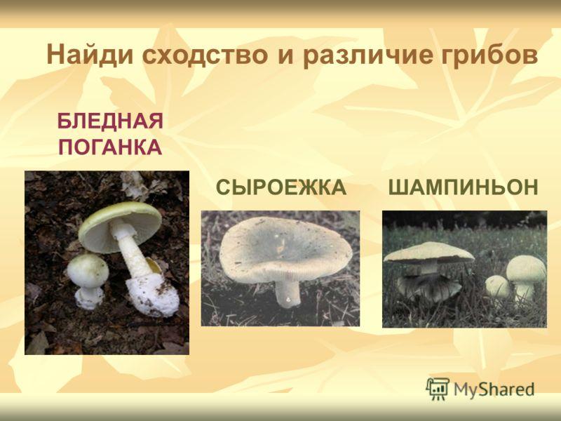 БЛЕДНАЯ ПОГАНКА СЫРОЕЖКАШАМПИНЬОН Найди сходство и различие грибов