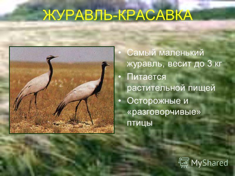 ЖУРАВЛЬ-КРАСАВКА Самый маленький журавль, весит до 3 кг Питается растительной пищей Осторожные и «разговорчивые» птицы