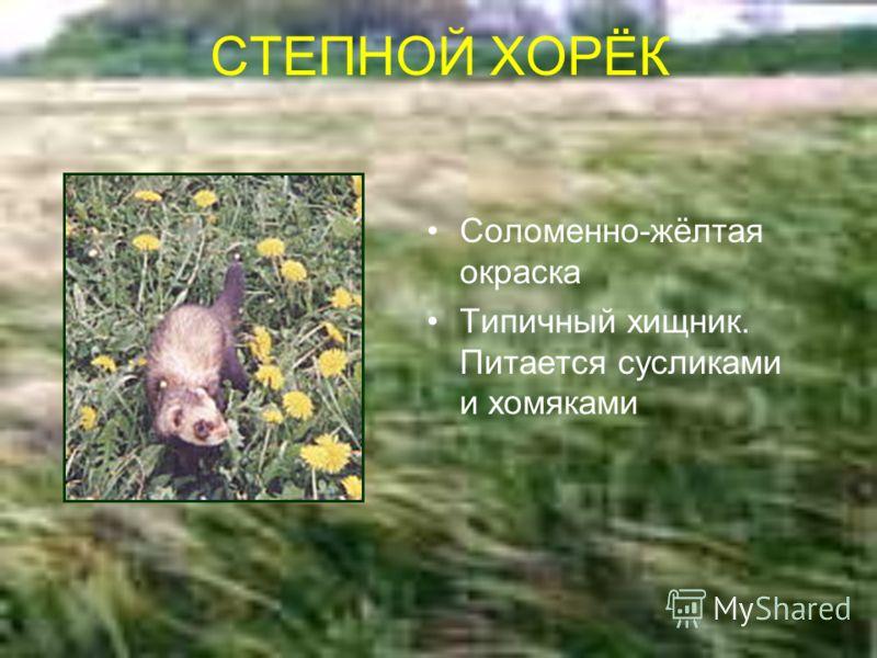 СТЕПНОЙ ХОРЁК Соломенно-жёлтая окраска Типичный хищник. Питается сусликами и хомяками