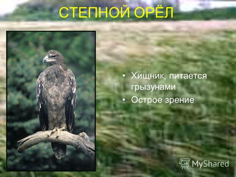 СТЕПНОЙ ОРЁЛ Хищник, питается грызунами Острое зрение