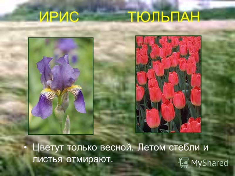 ИРИС ТЮЛЬПАН Цветут только весной. Летом стебли и листья отмирают.