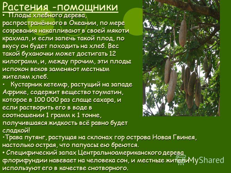 Растения -помощники Плоды хлебного дерева, распространённого в Океании, по мере созревания накапливают в своей мякоти крахмал, и если запечь такой плод, по вкусу он будет походить на хлеб. Вес такой буханочки может достигать 12 килограмм, и, между пр