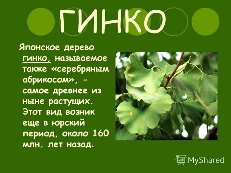 ГИНКО Японское дерево гинко, называемое также «серебряным абрикосом», - самое древнее из ныне растущих. Этот вид возник еще в юрский период, около 160 млн. лет назад.