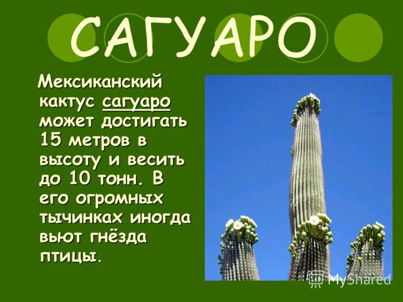 САГУАРО Мексиканский кактус сагуаро может достигать 15 метров в высоту и весить до 10 тонн. В его огромных тычинках иногда вьют гнёзда птицы.