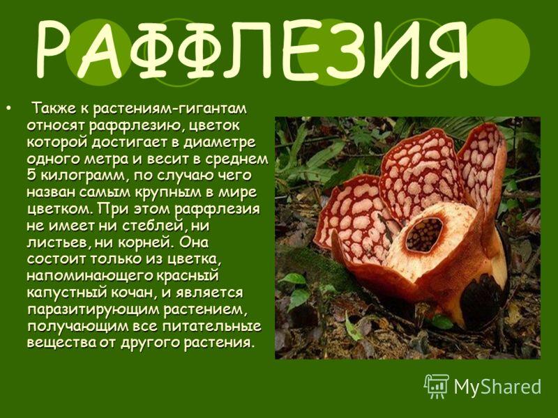 РАФФЛЕЗИЯ Также к растениям-гигантам относят раффлезию, цветок которой достигает в диаметре одного метра и весит в среднем 5 килограмм, по случаю чего назван самым крупным в мире цветком. При этом раффлезия не имеет ни стеблей, ни листьев, ни корней.