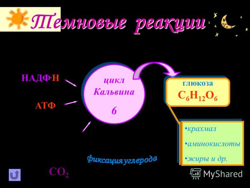 Е Световые реакции хлорофилл е-е- 2Н 2 О О2О2 е-е- Н+Н+ возбуждение молекулы хлорофилла фотолиз воды.Н.Н АТФ НАДФ АДФ е-е- +