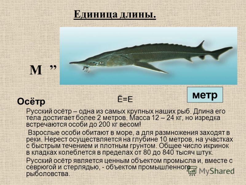 Ё=Е Осётр Русский осётр – одна из самых крупных наших рыб. Длина его тела достигает более 2 метров. Масса 12 – 24 кг, но изредка встречаются особи до 200 кг весом! Взрослые особи обитают в море, а для размножения заходят в реки. Нерест осуществляется