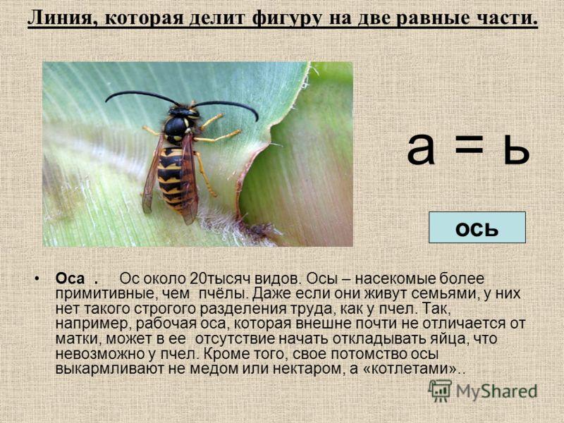 а = ь Оса. Ос около 20тысяч видов. Осы – насекомые более примитивные, чем пчёлы. Даже если они живут семьями, у них нет такого строгого разделения труда, как у пчел. Так, например, рабочая оса, которая внешне почти не отличается от матки, может в ее