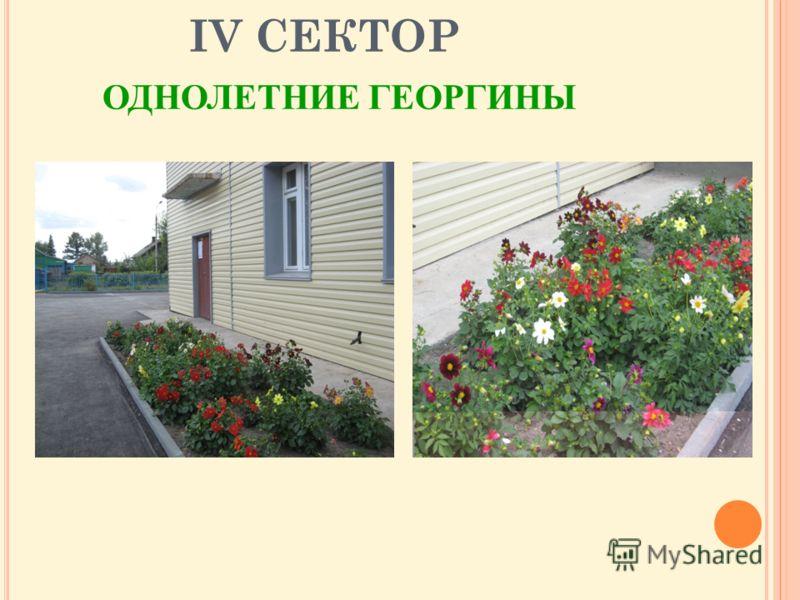 IV СЕКТОР ОДНОЛЕТНИЕ ГЕОРГИНЫ