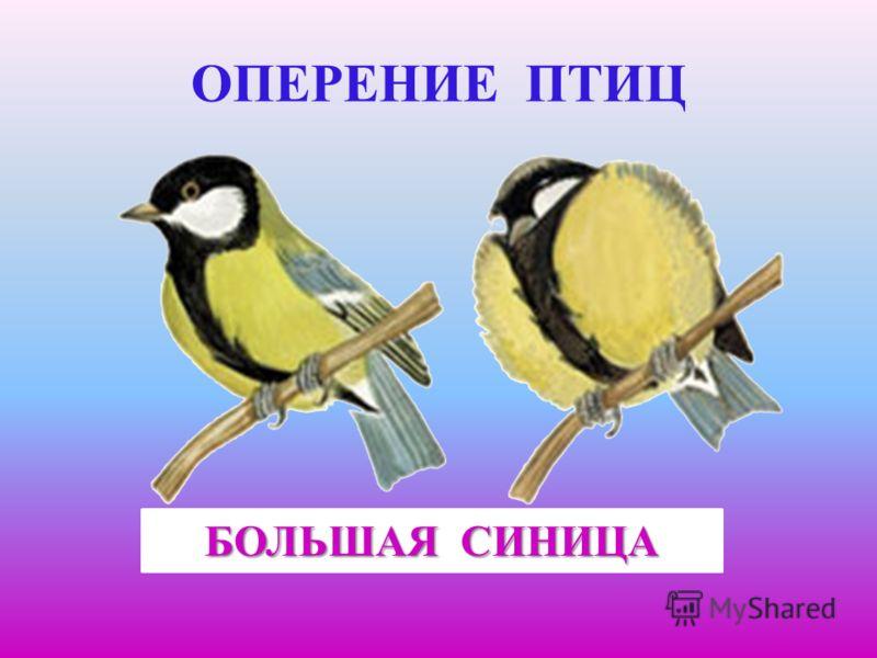 Оперение птиц большая синица