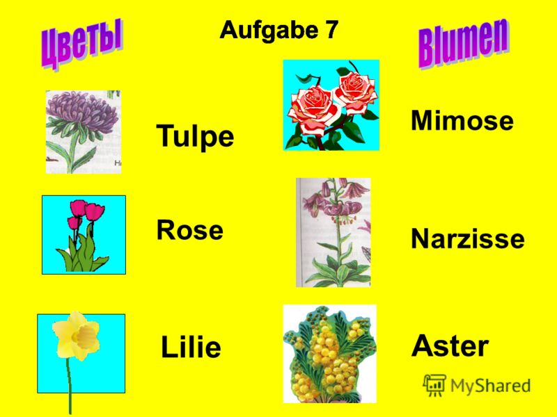 Aufgabe 7 Tulpe Rose Lilie Mimose Narzisse Aster Aufgabe 7