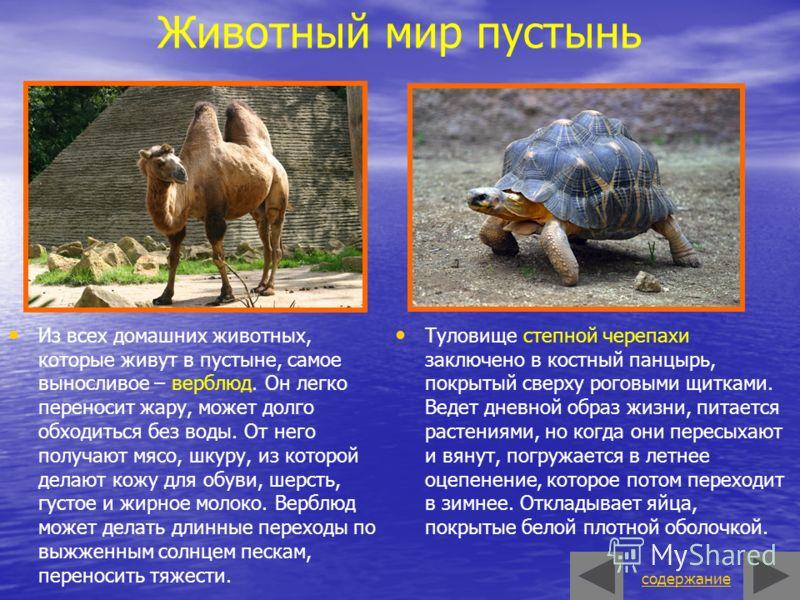 Животный мир пустынь Туловище степной черепахи заключено в костный панцырь, покрытый сверху роговыми щитками. Ведет дневной образ жизни, питается растениями, но когда они пересыхают и вянут, погружается в летнее оцепенение, которое потом переходит в
