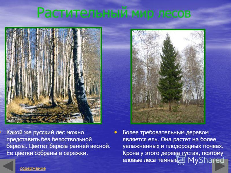 Растительный мир лесов Какой же русский лес можно представить без белоствольной березы. Цветет береза ранней весной. Ее цветки собраны в сережки. Более требовательным деревом является ель. Она растет на более увлажненных и плодородных почвах. Крона у