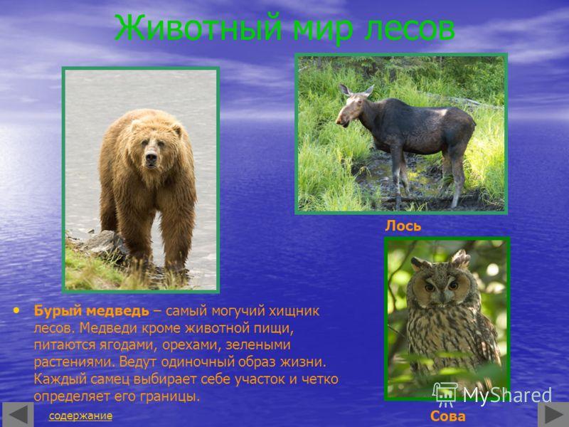 Животный мир лесов Бурый медведь – самый могучий хищник лесов. Медведи кроме животной пищи, питаются ягодами, орехами, зелеными растениями. Ведут одиночный образ жизни. Каждый самец выбирает себе участок и четко определяет его границы. содержание Лос