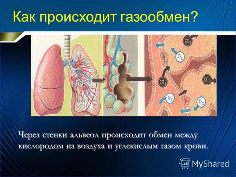 Через стенки альвеол происходит обмен между кислородом из воздуха и углекислым газом крови. Как происходит газообмен?