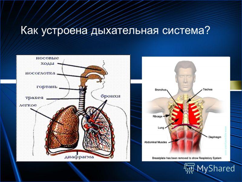 Как устроена дыхательная система?