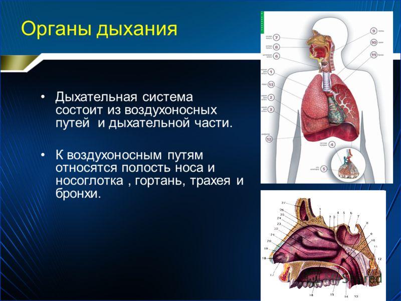 Органы дыхания Дыхательная система состоит из воздухоносных путей и дыхательной части. К воздухоносным путям относятся полость носа и носоглотка, гортань, трахея и бронхи.