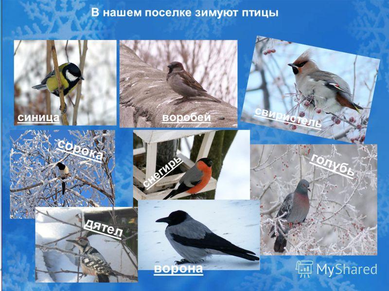 В нашем поселке зимуют птицы синицаворобей свиристель сорока снегирь голубь дятел ворона