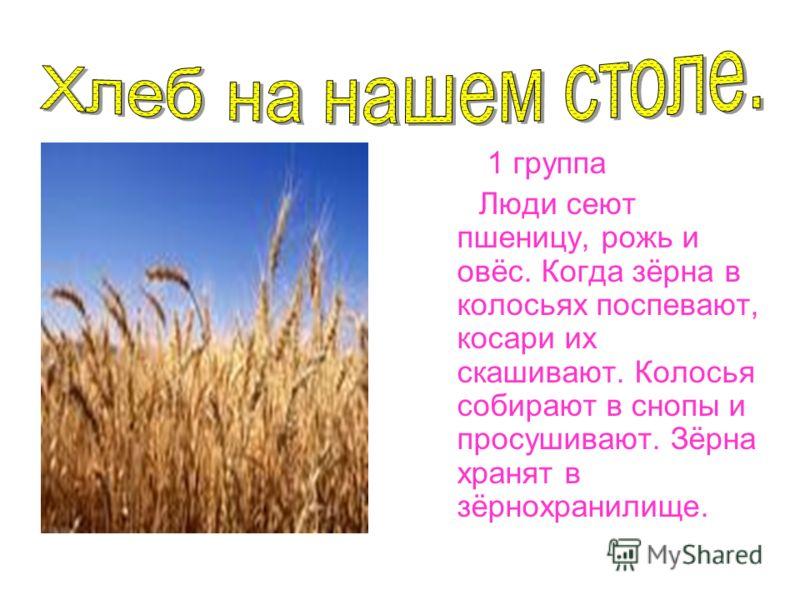 1 группа Люди сеют пшеницу, рожь и овёс. Когда зёрна в колосьях поспевают, косари их скашивают. Колосья собирают в снопы и просушивают. Зёрна хранят в зёрнохранилище.