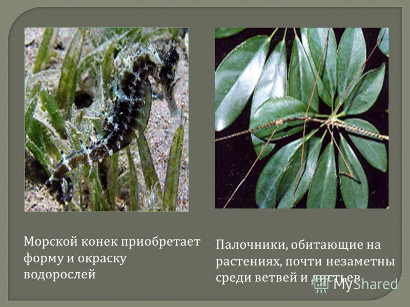 Морской конек приобретает форму и окраску водорослей Палочники, обитающие на растениях, почти незаметны среди ветвей и листьев