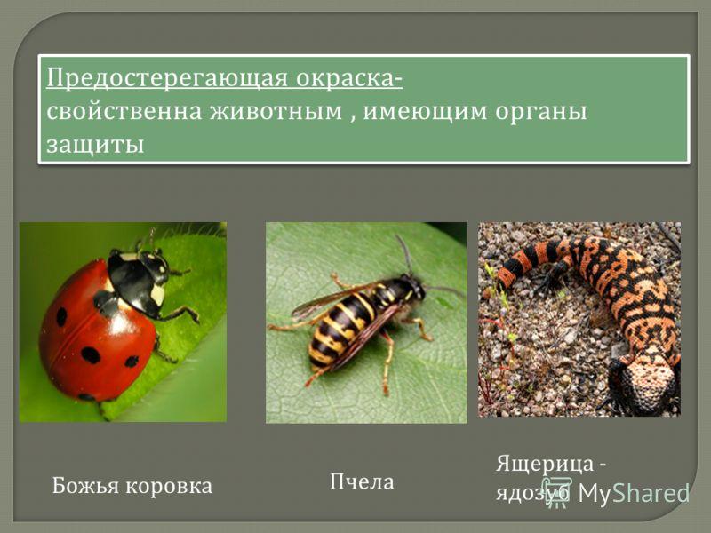 Предостерегающая окраска - свойственна животным, имеющим органы защиты Предостерегающая окраска - свойственна животным, имеющим органы защиты Ящерица - ядозуб Пчела Божья коровка