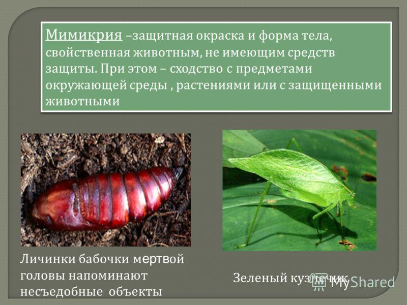 Личинки бабочки м ертв ой головы напоминают несъедобные объекты Мимикрия – защитная окраска и форма тела, свойственная животным, не имеющим средств защиты. При этом – сходство с предметами окружающей среды, растениями или с защищенными животными Зеле