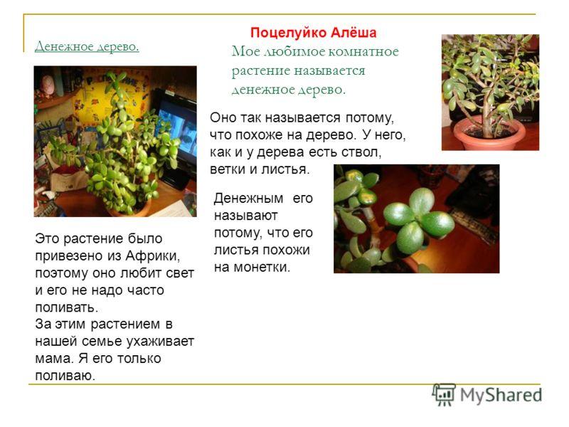Денежное дерево. Мое любимое комнатное растение называется денежное дерево. Оно так называется потому, что похоже на дерево. У него, как и у дерева есть ствол, ветки и листья. Денежным его называют потому, что его листья похожи на монетки. Это растен