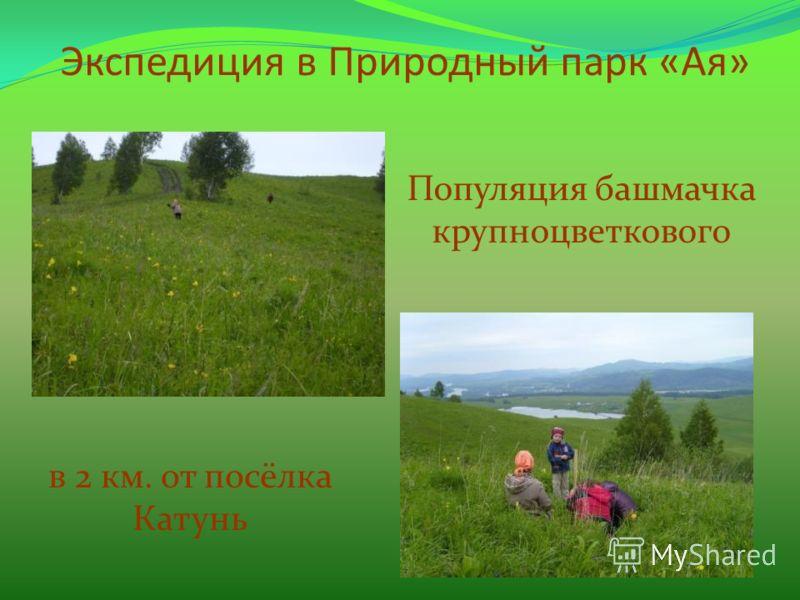 Экспедиция в Природный парк «Ая» Популяция башмачка крупноцветкового в 2 км. от посёлка Катунь