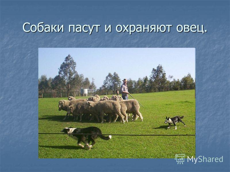 Собаки пасут и охраняют овец.