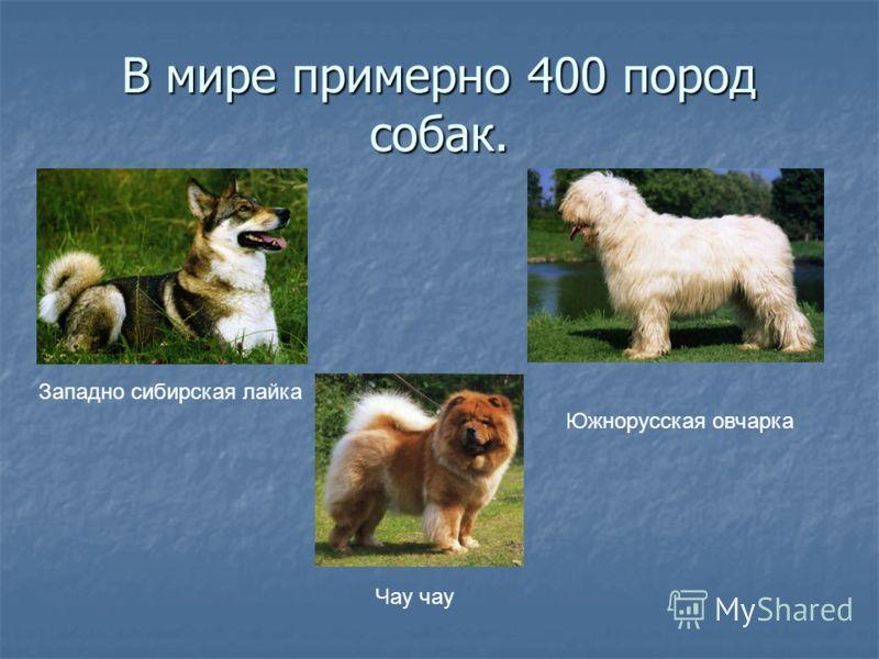 В мире примерно 400 пород собак. Западно сибирская лайка Чау чау Южнорусская овчарка