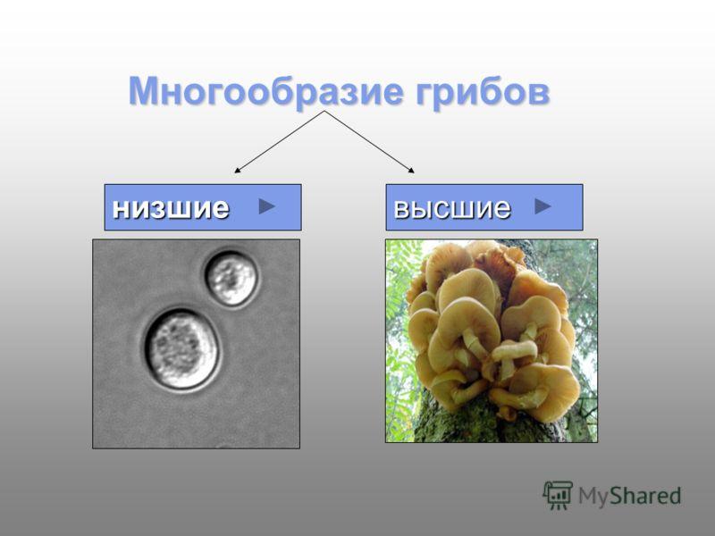 Многообразие грибов низшиевысшие