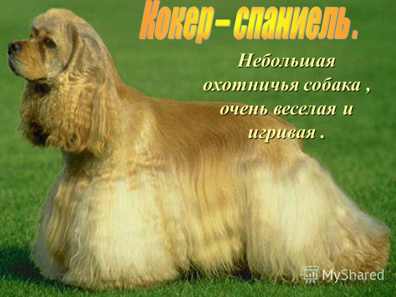 Небольшая охотничья собака, очень веселая и игривая.