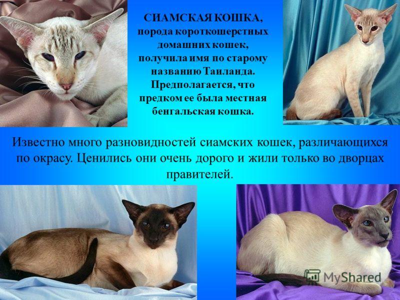 СИАМСКАЯ КОШКА, порода короткошерстных домашних кошек, получила имя по старому названию Таиланда. Предполагается, что предком ее была местная бенгальская кошка. Известно много разновидностей сиамских кошек, различающихся по окрасу. Ценились они очень