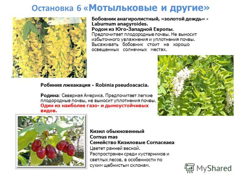 Остановка 6 « Мотыльковые и другие» Кизил обыкновенный Cornus mas Семейство Кизиловые Cornaceaea Цветет ранней весной. Распространен среди кустарников и светлых лесов, в особенности по сухим щебнистым склонам. Бобовник анагиролистный, «золотой дождь»