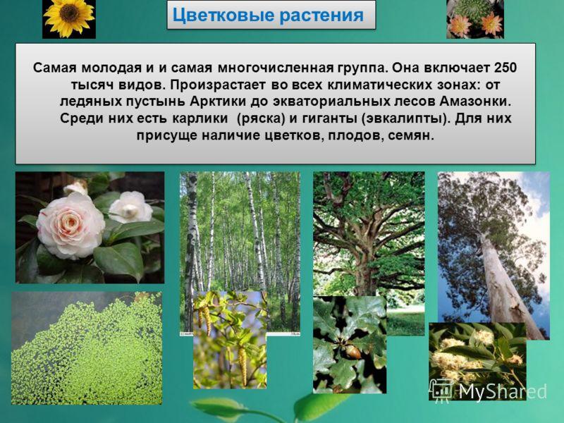 Цветковые растения Самая молодая и и самая многочисленная группа. Она включает 250 тысяч видов. Произрастает во всех климатических зонах: от ледяных п
