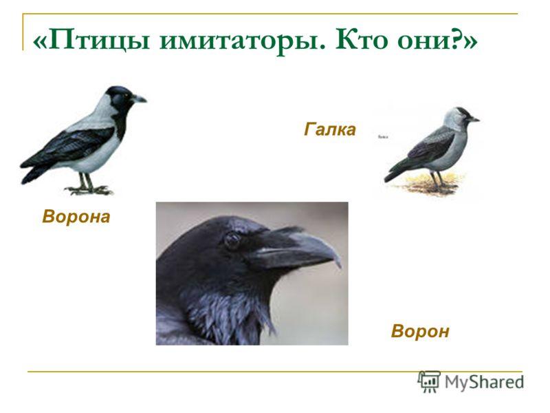 «Птицы имитаторы. Кто они?» Ворон Ворона Галка