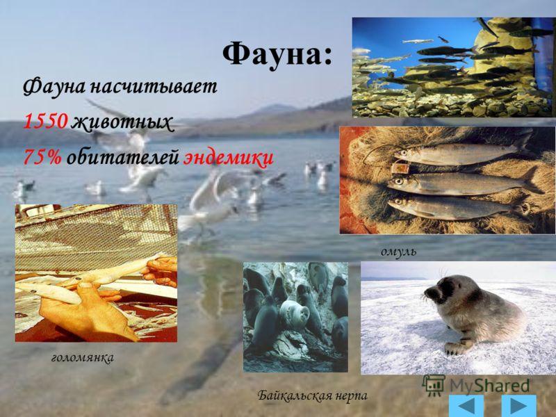 Фауна: Фауна насчитывает 1550 животных 75% обитателей эндемики омуль голомянка Байкальская нерпа