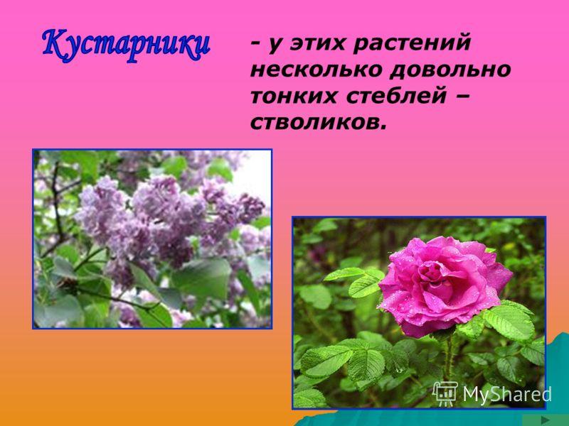- у этих растений несколько довольно тонких стеблей – стволиков.