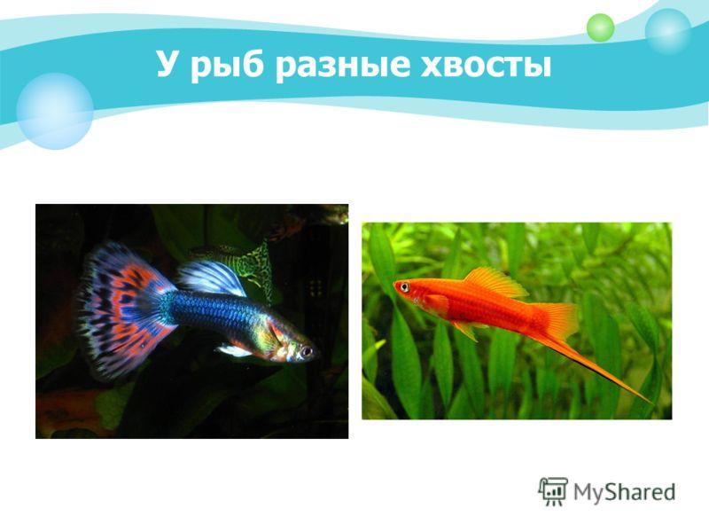 У рыб разные хвосты