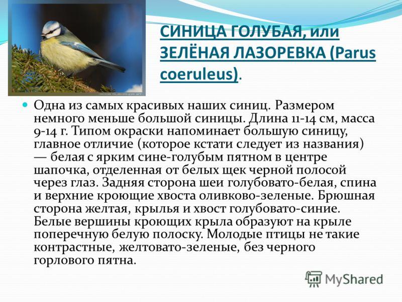 СИНИЦА ГОЛУБАЯ, или ЗЕЛЁНАЯ ЛАЗОРЕВКА (Parus coeruleus). Одна из самых красивых наших синиц. Размером немного меньше большой синицы. Длина 11-14 см, масса 9-14 г. Типом окраски напоминает большую синицу, главное отличие (которое кстати следует из наз