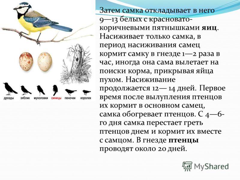 Затем самка откладывает в него 913 белых с красновато- коричневыми пятнышками яиц. Насиживает только самка, в период насиживания самец кормит самку в гнезде 12 раза в час, иногда она сама вылетает на поиски корма, прикрывая яйца пухом. Насиживание пр