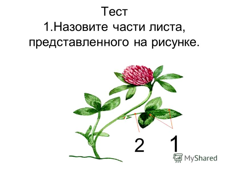 Тест 1.Назовите части листа, представленного на рисунке. 2 1