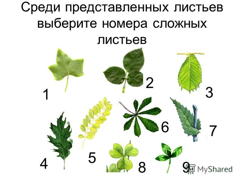 Среди представленных листьев выберите номера сложных листьев 1 2 3 4 5 6 7 89
