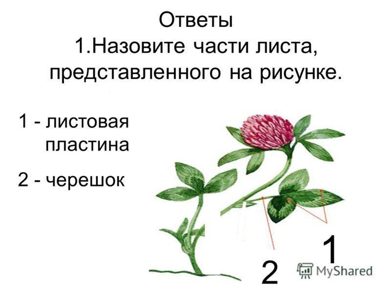 Ответы 1.Назовите части листа, представленного на рисунке. 2 1 1 - листовая пластина 2 - черешок