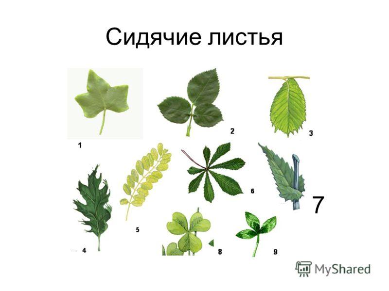 Сидячие листья 7