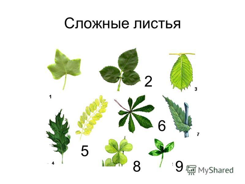 Сложные листья 2 5 6 89