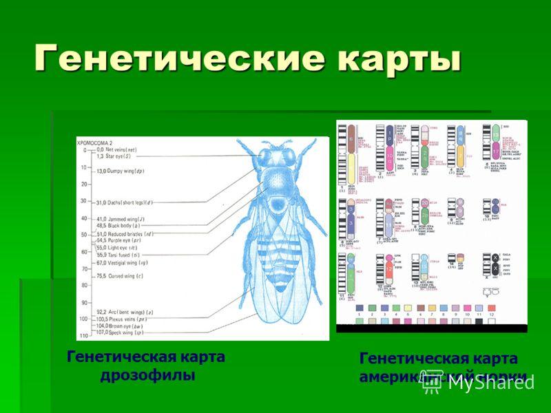 Генетические карты Генетическая карта американской норки Генетическая карта дрозофилы