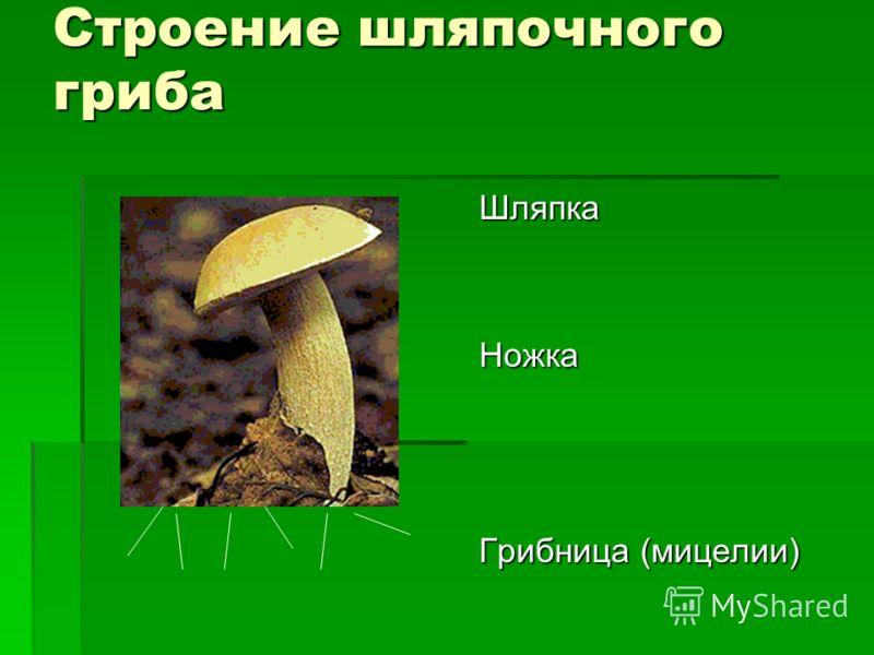 Строение шляпочного гриба ШляпкаНожка Грибница (мицелии)
